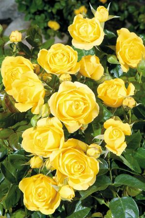 Rosa Floribunda (Walking on Sunshine)