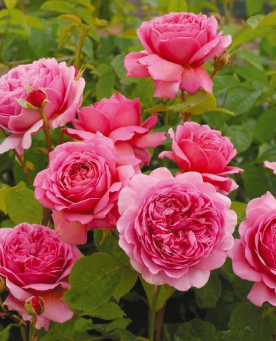Rosa English Rose (Princess Alexandra of Kent o.r.)