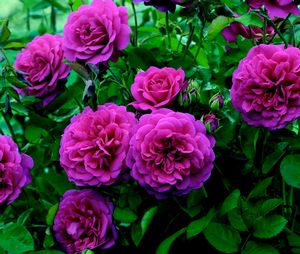Rosa English Rose (Sir John Betjeman)