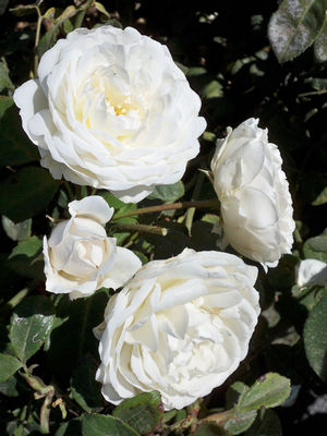 Rosa Climbing (Cloud 10 <b><i>New 2013</b></i>)