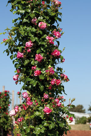 Rosa Climbing (Raspberry Cream Twirl <b><i>New 2013</b></i>)
