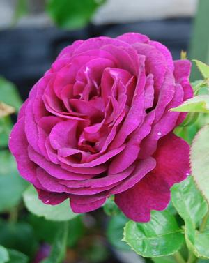 Rosa Grandiflora (Twilight Zone)