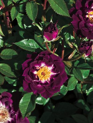 Rosa Miniature (Diamond Eyes)
