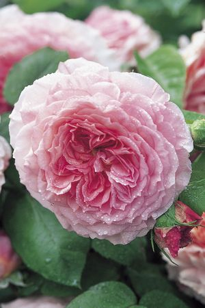 Rosa English Rose (James Galway)