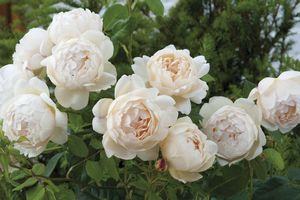 Rosa English Rose (Wollerton Old Hall <b><i>New 2013</b></i>)