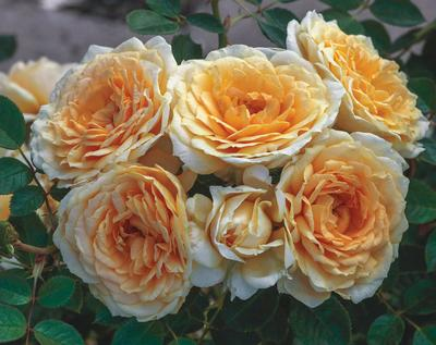Rosa Landscape/Shrub (Edith's Darling®(own root))