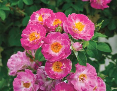 cupid s kisses own root rosa climber cupid s kisses own root
