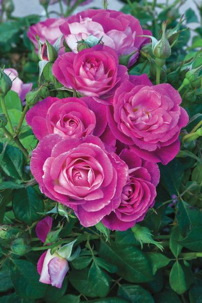 Easy To Please Rosa Floribunda Easy To Please From Regan