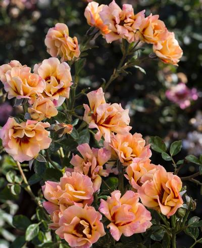 Rosa Floribunda (Eyeconic® Mango Lemonade(own root))