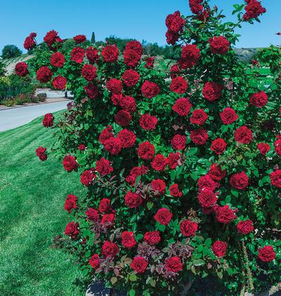 Rosa Climber (Lady In Red™)