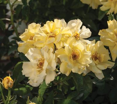 Rosa Landscape/Groundcover (Lemon Drift® (own root))