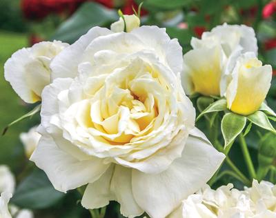 Rosa Landscape/Shrub (Polar Express™ (own root))