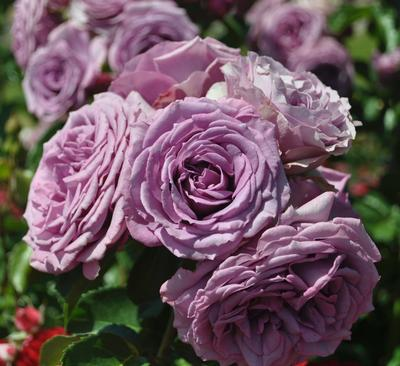 Rosa Climber (Quicksilver™(own root))