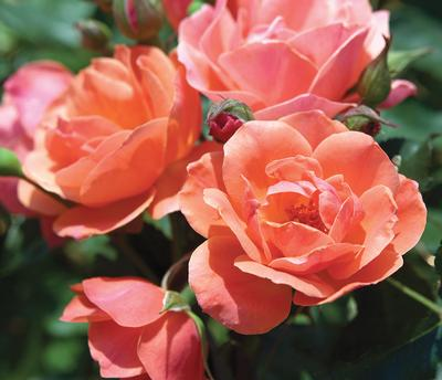 Rosa Landscape/Shrub (The Coral Knock Out® (own root))