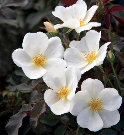 Rosa Landscape/Shrub (The White Knock Out® (own root))