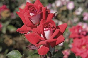 Rosa Hybrid Tea (Fire & Ice)