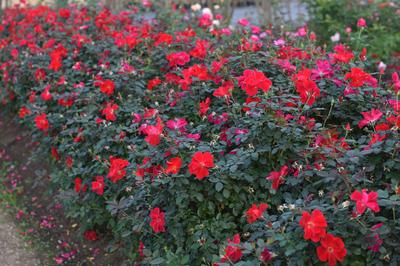 Rosa Landscape/Shrub (Miracle On The Hudson (own root))