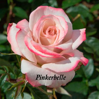 Rosa Hybrid Tea (Pinkerbelle™ (own root) New 2019)