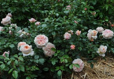 Rosa Floribunda (Cream™ Veranda&reg (own root) New 2019)