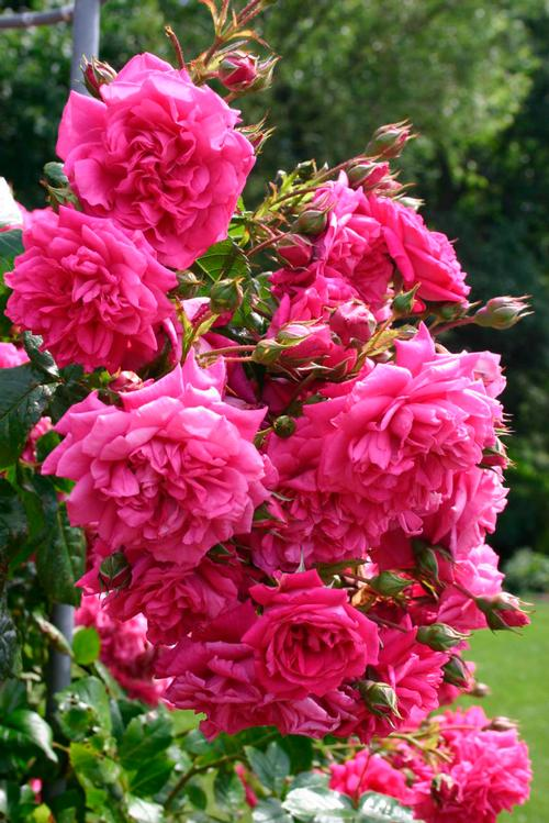 Rosa Climber (Laguna™ (own root) New 2019)
