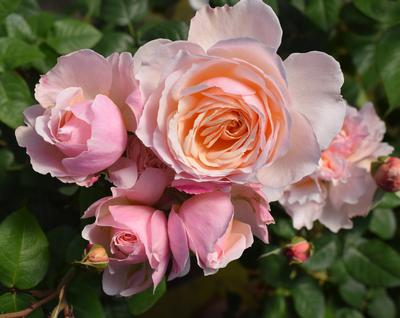Rosa Floribunda (Moonlight in Paris ™New 2019)