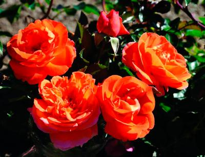 Rosa Floribunda (Mango™ Veranda® New 2019 (own root))