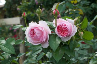 Rosa Shrub (Scentuous New 2020)