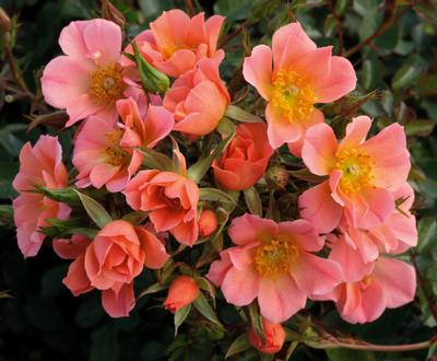 Rosa Landscape/Groundcover (Sunset Happy Trails New 2020)