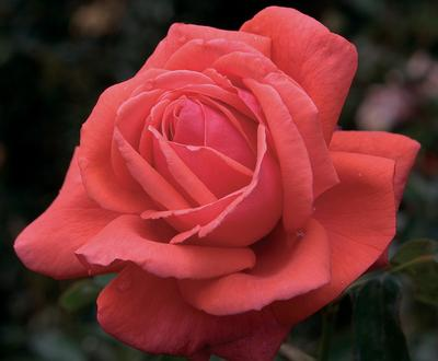 Rosa Hybrid Tea (Fragrant Cloud)