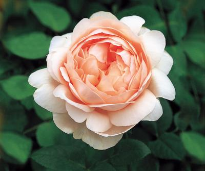 Rosa English Rose (Ambridge Rose)