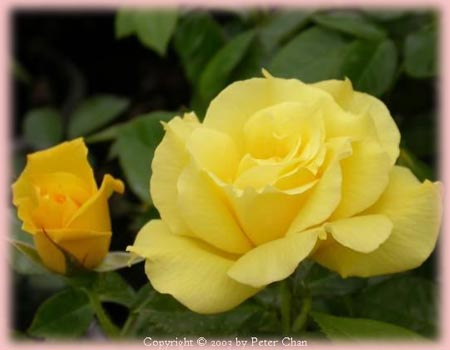 yellow rose bushes types Rosa Floribunda  Anthony MeillandYellow Rose Bushes Types