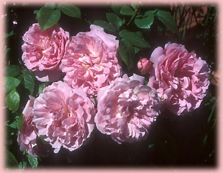 Rosa English Rose (Mary Rose)