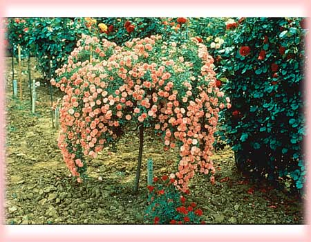 Weeping China Doll is available only as a tree the perfect foil to show off