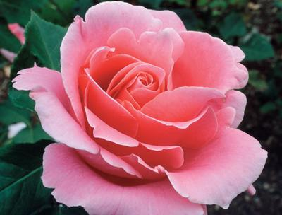 Bewitched Rosa Hybrid Tea Bewitched From Regan Nursery
