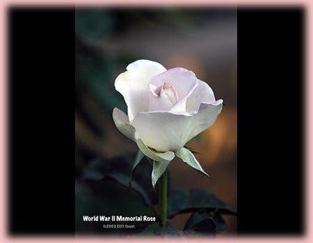 Rosa Hybrid Tea (World War II Memorial)