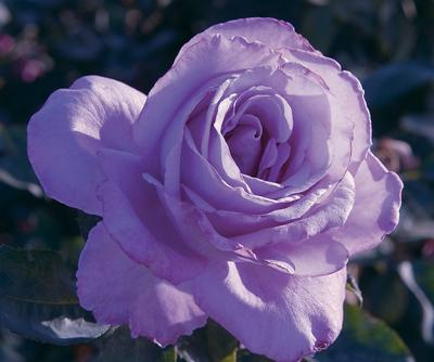 Rosa Hybrid Tea (Blue Girl)
