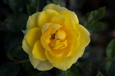 yellow rose bushes types Rosa Miniature  Yellow Sunblaze o r  Yellow Rose Bushes Types