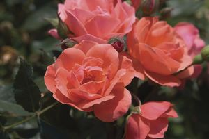 Rosa Landscape/Shrub (Carefree Celebration (own root))