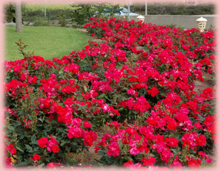 Rosa Landscape/Shrub (Knock Out (own root))