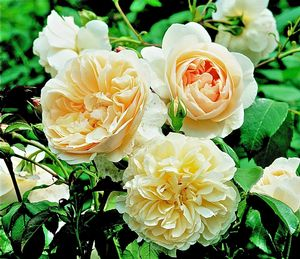 Rosa English Rose (Lichfield Angel)