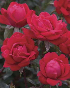 Rosa Landscape/Shrub (Double Knock Out)