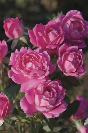 Rosa Landscape/Shrub (Pink Double Knock Out o.r.)