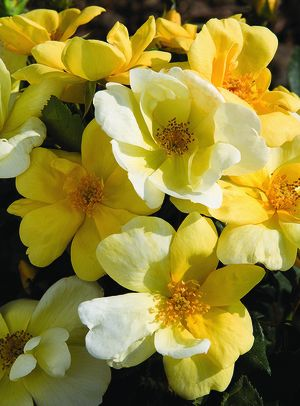 Rosa Landscape/Shrub (Sunny Knock Out o.r.)