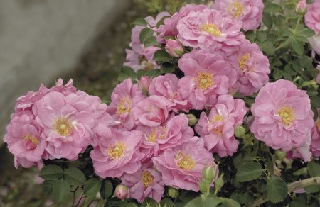 Rosa Landscape/Shrub (Cape Diamond o.r.)