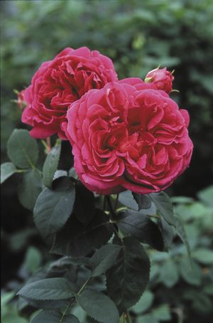 Rosa English Rose (Lady of Megginch)