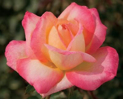 Rosa Hybrid Tea (Love and Peace)