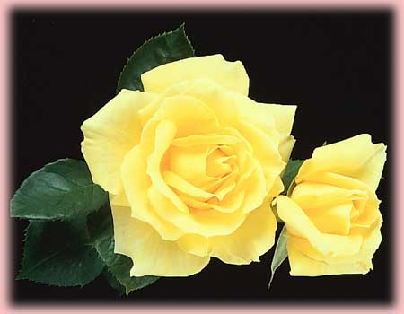 Rosa Hybrid Tea (Mellow Yellow)