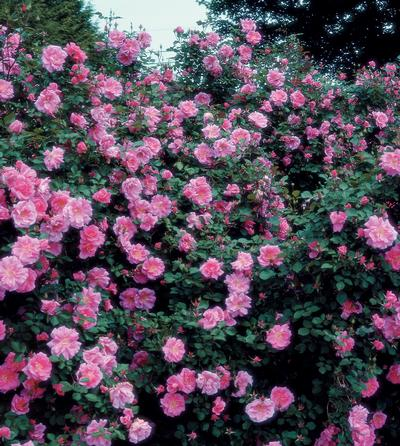 Rosa Landscape/Shrub (Carefree Beauty (own root))