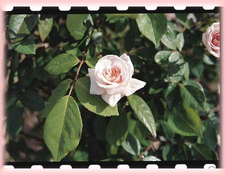 Rosa Climbing (Cecile Brunner Cl)