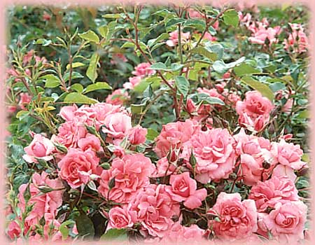 Rosa Landscape/Groundcover (Electric Blanket (gc) o.r.)